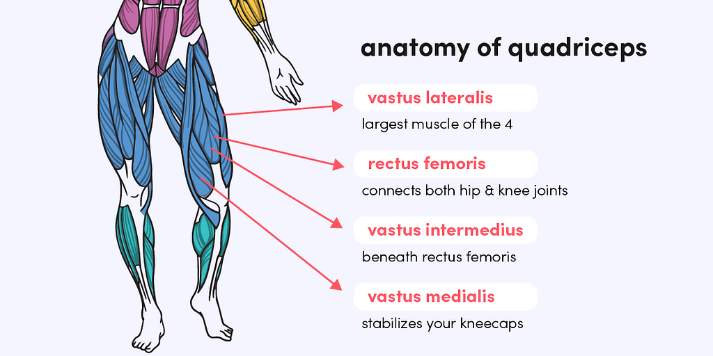 The quadriceps are made up of 4 muscles, 3 vastus muscles and the rectus femoris.
